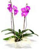 Flowering one stem Orchid Plant in a Pot to Chennai Delivery. Colour may vary.