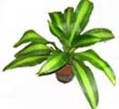 Potted Plants 3 to Chennai Delivery