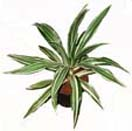 Potted Plants 1 to Chennai Delivery