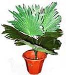 Potted Plants 5 to Chennai Delivery