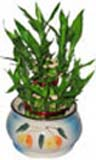 Corporate Gifts with Lucky Bamboo Plant in a Pot to Chennai delivery